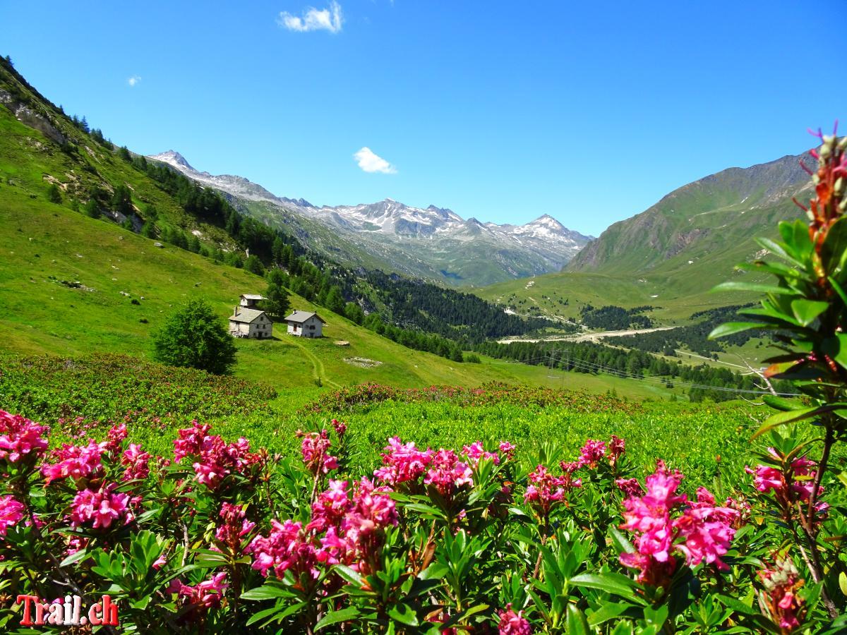 [Bild: lukmanierpass-alpenrosen-passo-del-sole_...c05037.jpg]